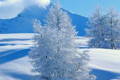 冬日皑皑白雪地上雪白的银松和巍峨的雪山