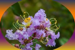 美丽紫微花