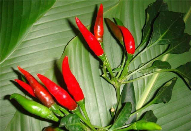 种植辣椒,美人椒种植方法,美人椒高产种植技术
