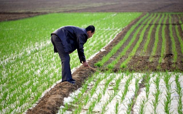 秋播大蒜种植时间到,清楚3种常见病害,做好大蒜苗期管理工作