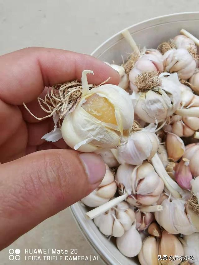 大蒜种子除了要晒种,还要做好这几点才能够保证苗齐苗壮