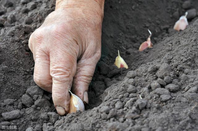 种大蒜浇好这四次水,保证你的蒜苔又粗又嫩,蒜头像拳头